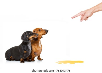 dachshund  sausage dogs being punished for urinate or pee  at home by his owner, isolated on white background
