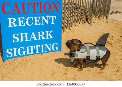 Dachshund in a shark costume at Cape Cod Massachusetts