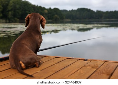 The dachshund sits on the bridge and catches fish