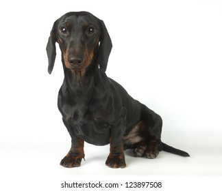 Dachshund is sitting