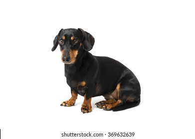 A dachshund sitting on white background