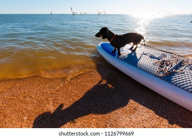 Dachshund sitting on windsurf board at the beach. Cute black doggy is loving surf