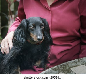 A dachshund sitting on a woman's lap providing comfort and affection.