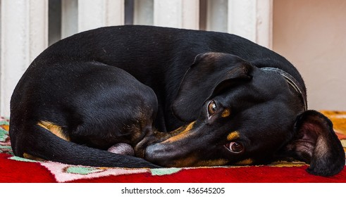 Dachshund sleeping tangle