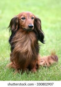 Dachshund Standard Long-haired in the garden