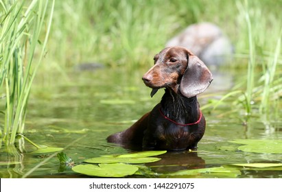 dachshund swimming in a pond among lily pads
