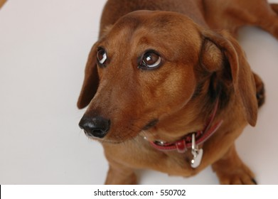 dachshund, weiner dog on white seemless
