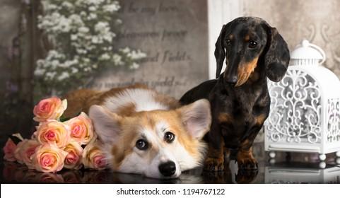 dachshund  and welsh corgi , friends
