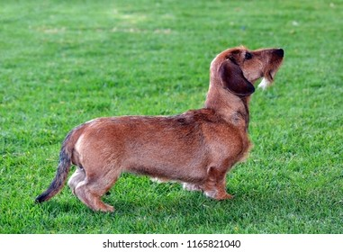 dachshund wire-haired dog teckel brown sausage with mustaches and beard standing on green meadow of Kikuyo grass