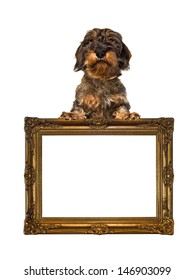 dachshund with withe background in frame