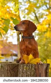 Dachshund im wunderschönen und sonnigen Goldener Herbsttag auf Stumpf