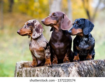 Dachshunds dog in the autumn background