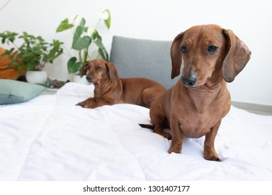 Dachshunds on white bad in room with plants one on front and other background with copy space