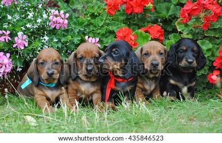 Dachshunds Puppies Sitting Green Grass Near Stock Photo (Edit Now