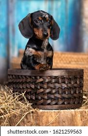 dachshunds puppy , dog portrait