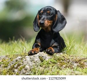 Dachshunds puppy  on the green grass