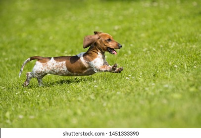 Dachshunds puppy are playing on the grass