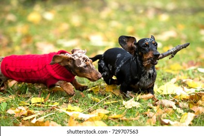 dachshunds run and play in the autumn park