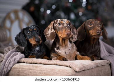 dachshunds three colorful dogs