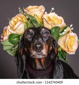 dachsund black dog in a flowers crown.