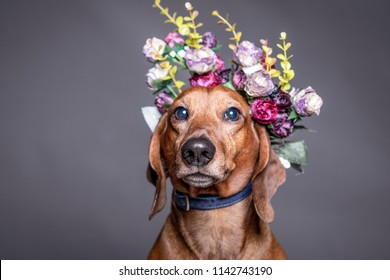 dachsund brown dog in a flowers crown.
