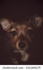 Dachsund Corgi Mutt Mix Portrait, Deep Brown Eyes