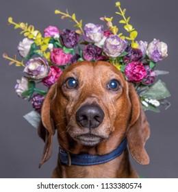 Dachsund dog in a flower crown, portrait square format.