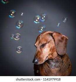 Dachsund dog playing With Soap Bubbles on grey background. Funny expression