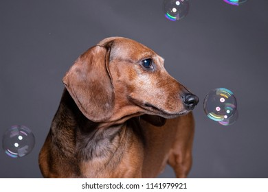 Dachsund dog playing With Soap Bubbles on grey background.