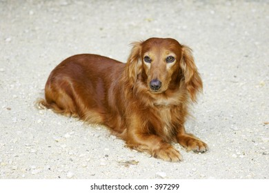 Dachsund dog sitting