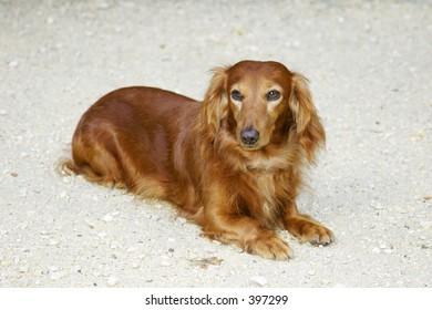 Dachsund dog sitting