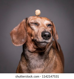 dachsund dog studio portrait  with funny face.