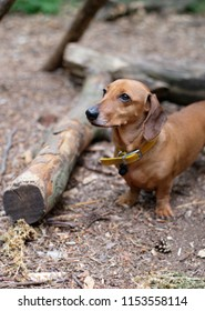 Dachsund looking at owner whilst on walk