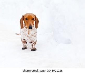 Dachsund Piebald winter snow