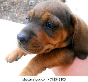 Dachsund puppy in a hand