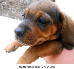 Dachsund puppy in a hand