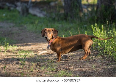 dachsund standing in The park
