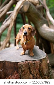Dachsund stood on a tree stump