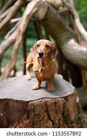 Dachsund stood on a tree stump