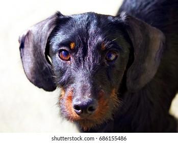 Dachsund Teckel Dog looking in Camera Portrait