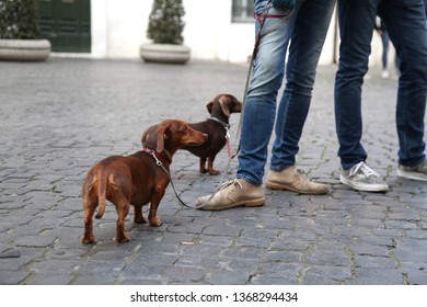 Dachsunds in cobbled street in Rome