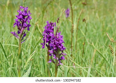 Dactylorhiza majalis - endangered spiece of wild orchid  (western marsh orchid, broad-leaved marsh orch., fan orch., common marsh orchid, or Irish marsh orchid)