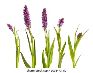 Dactylorhiza majalis, western marsh orchid, broad-leaved marsh, fan or Irish marsh orchid. Isolated on white background.