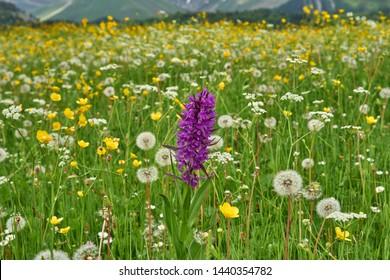 Dactylorhiza urvilleana - marsh orchid. Flowers and nature of Artvin, Black Sea region of Turkey