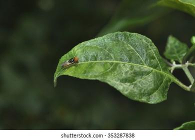 Dacus dorsalis, Oriental fruit fly