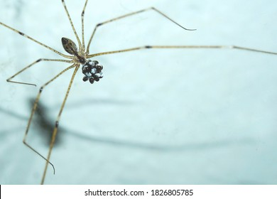 Daddy long legs cellar spider (Pholcus phalangioides) carrying its eggs while hanging on its web isolated with white rustic wall background at Yogyakarta, Indonesia, Southeast Asia.