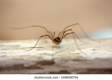 A daddy long-legs spider with long legs on a blurry background and walking on a plank of old wood