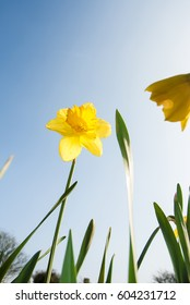 Daffodil against the blue sky