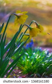 Daffodil and Bee