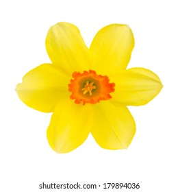 Daffodil bloom isolated on white